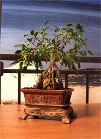 Фикус Бенджамина Натали. Бонсай в стиле дерево на камне.